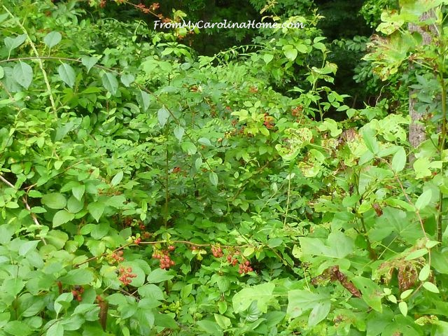 Blackberries July 2015 -2