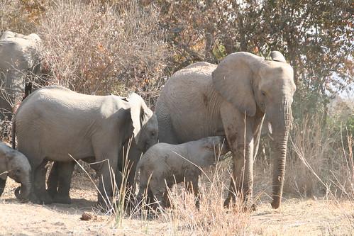 Baby elephant feeding on mama