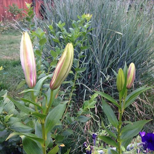 Stargazer lilies ready to pop