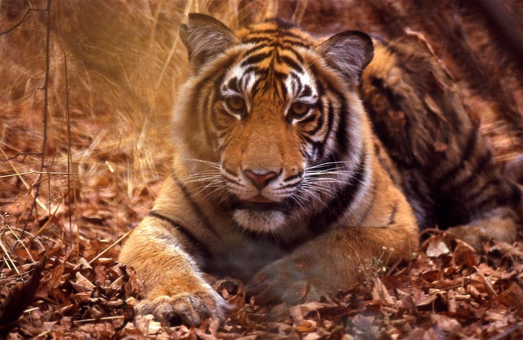 Tiger (Panthera tigris) juvenile