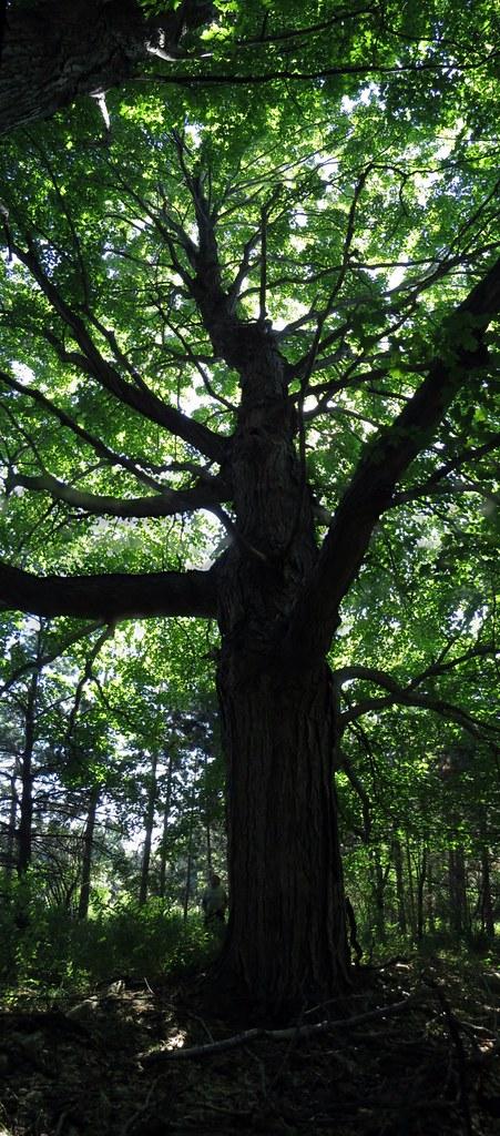 Tree Pano 1