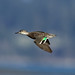 Anas crecca ♀ (Green-winged Teal) - Skagit, WA