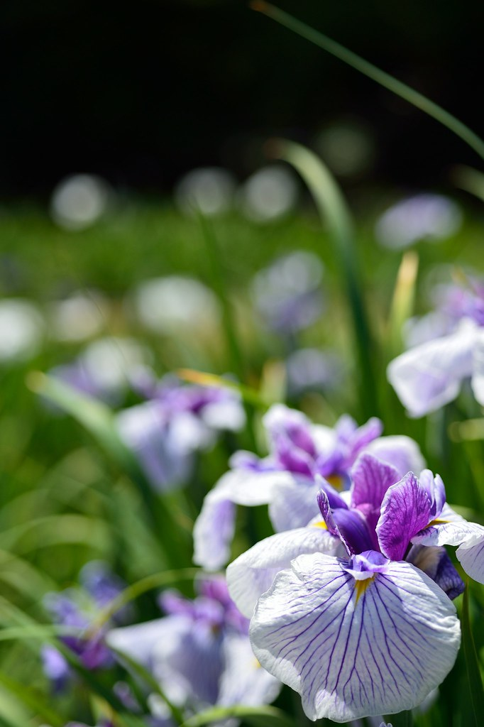 The Japanese iris in Tokugawa-en garden 2015/05 No.1.