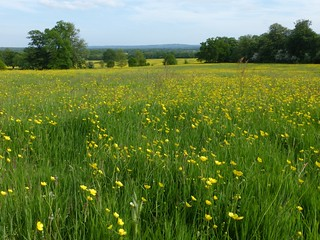 Buttercup meadow, Tandridge