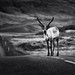 Caribou by malcolmacooper