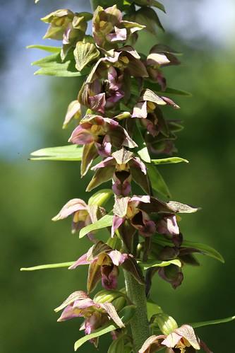 Broad Leafed Helleborine Epipactis helleborine