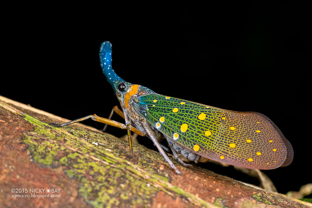 Lantern bug (Pyrops whiteheadi) - DSC_4133