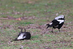 animal, nature, fauna, eurasian magpie, bird, wildlife,