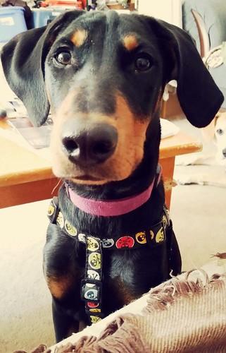 doberman mix puppy with sad eyes