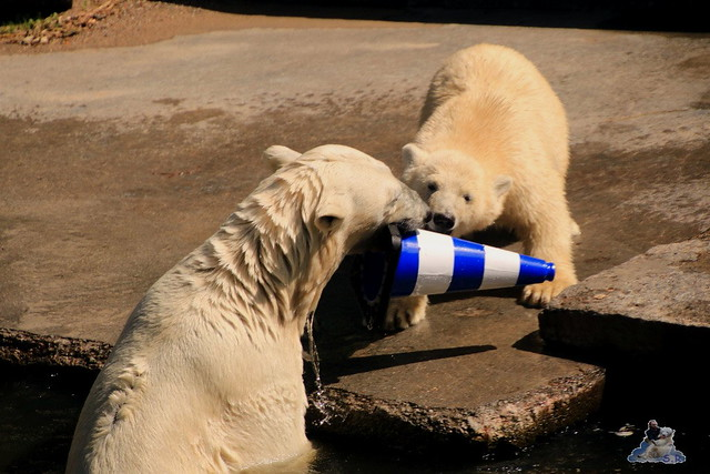 Eisbär Fiete im Zoo Rostock 074