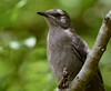 fledgling gray catbird