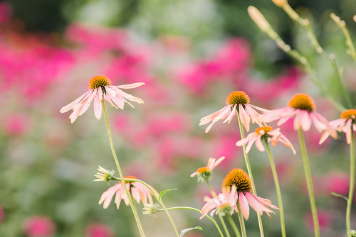 Peach coneflowers.