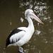 australian pelican by johncarney