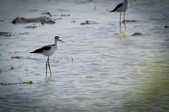 reflection(0.0), heron(0.0), sandpiper(0.0), wetland(1.0), animal(1.0), water(1.0), fauna(1.0), stilt(1.0), shorebird(1.0), bird(1.0), wildlife(1.0),