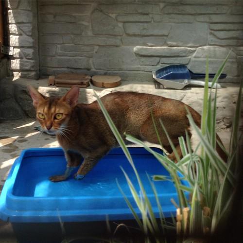 Фрюше налили ванну, и она сразу пошла купаться))) #старыйкрым  #abyssinian