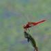 Dragonfly by joka2000