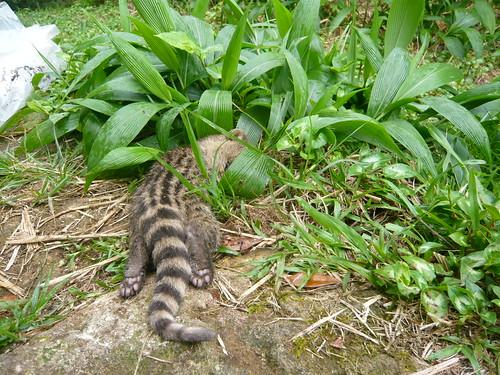 死亡的麝香貓幼體,進一步透過X光判讀死因,應為野犬攻擊。(圖片來源:陽明山國家公園管理處)