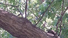 White-winged Dove  (documentation shot)