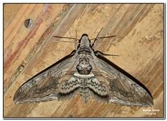 Five-spotted Hawk Moth (Manduca quinquemaculatus - 7776)
