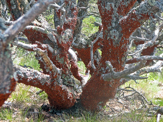 Lady bug swarm (Capulin Volcano, New Mexico, USA) 1