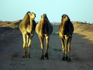 Algerian dromedaries - Dromadaires algériens