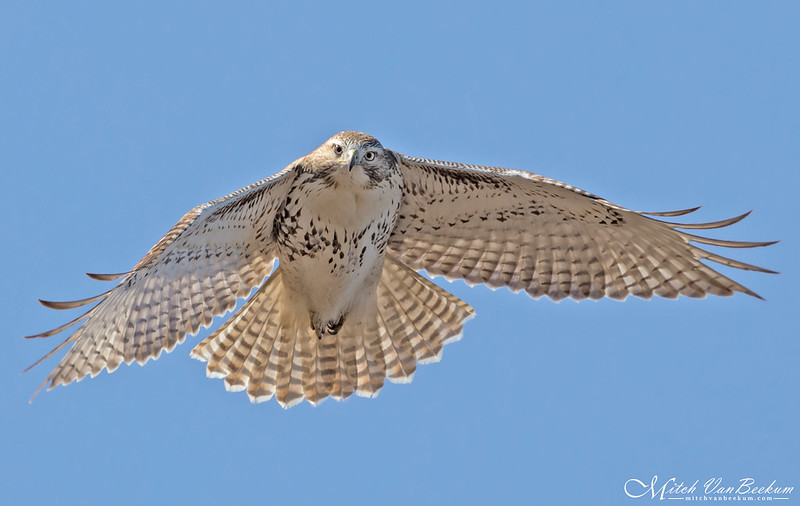 Red-Tailed Hawk (Explored)
