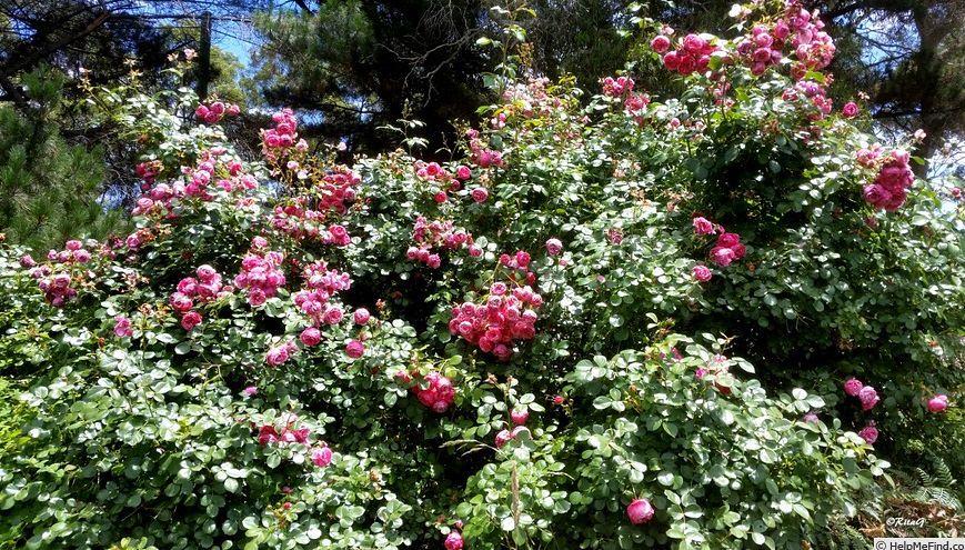 Không cần nhiều, chỉ cần nhà có được 1 cây hồng thế này thì ai cũng phải ngước nhìn