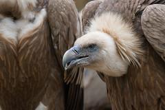 Gyps fulvus, Griffon vulture, Grifone