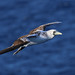 Masked Booby (immature) - Lesser Antilles