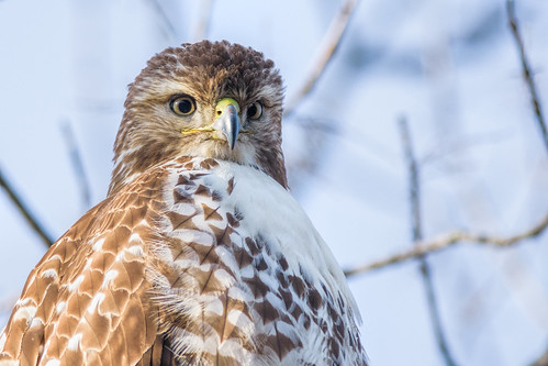portrait johnheinznwr wildlife hawk nature bird redtailedhawk raptor birdofprey heinz sharonhill pennsylvania unitedstates us nikon d7200