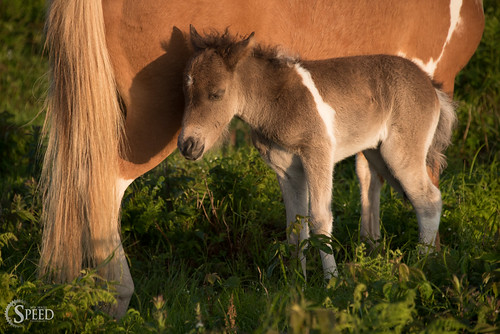 red sunrise trail recreation rogers foal graysoncounty graysonhighlandsstatepark virginiastateparks trailmount graysonhighlandsponies highlandsponies areaappalachian