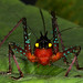 Katydid Panacanthus intensus by Robert in Colombia