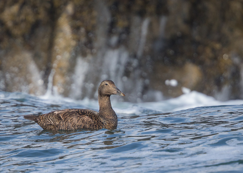 Eider Duck  female