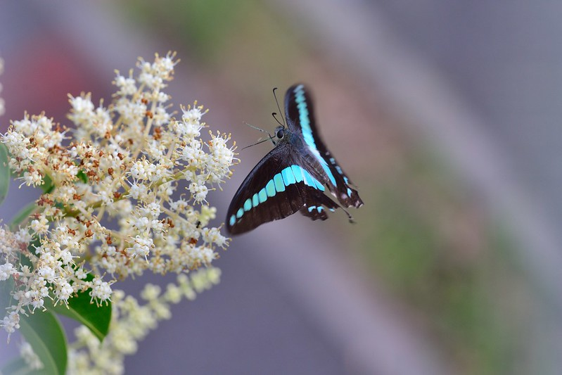 Graphium sarpedon / Common Bluebottle