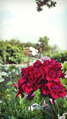 Sweet Dianthus