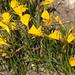 Daffodil (Narcissus obesus)