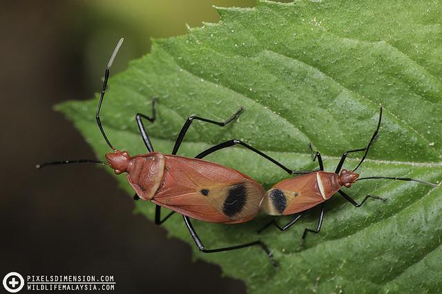 Red Stink Bugs mating (Dindymus rubiginosus?)
