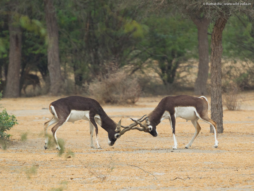 Blackbucks battle - 2