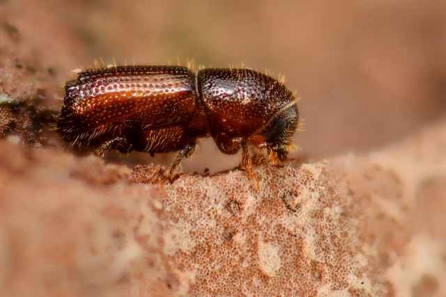 Orthotomicus laricis
