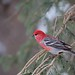 Pine grosbeak_(Peter Dunn)
