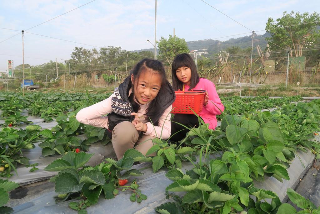 阿蓮三本草莓園 (10)