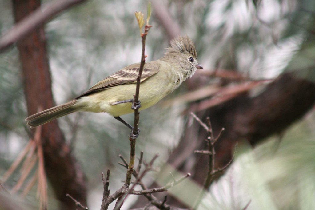 Imagen de una de las aves del Quindio: Elaenia Copetona (Elaenia Flavogaster)