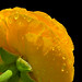 Ranunculus by konaboy
