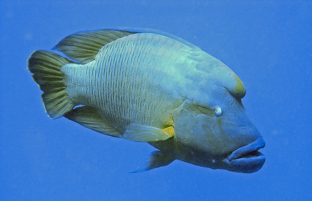 Napoleon fish red sea flickr photo sharing for Red sea fish