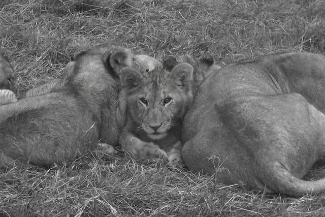 Lion And Lioness Cuddling | www.imgkid.com - The Image Kid ...