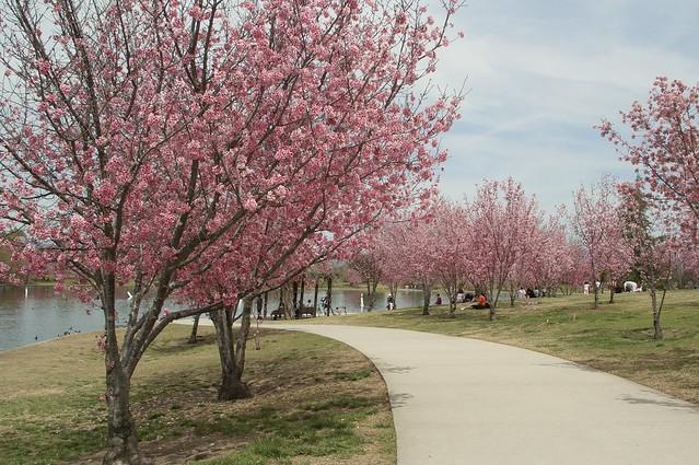 Cherry Blossoms At Lake Balboa This Past Weekend March 26 Flickr Photo Sharing