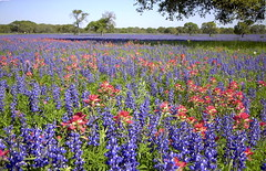 Bluebonnets & Indian Paintbrush near Natalia, Texas - April 2001