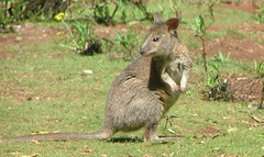 fox squirrel(0.0), rodent(0.0), wallaby(1.0), animal(1.0), marsupial(1.0), mammal(1.0), kangaroo(1.0), fauna(1.0), wildlife(1.0),
