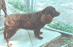 boykin spaniel(0.0), lagotto romagnolo(0.0), chesapeake bay retriever(0.0), dog breed(1.0), animal(1.0), dog(1.0), curly coated retriever(1.0), pet(1.0), field spaniel(1.0), spaniel(1.0), newfoundland(1.0), carnivoran(1.0),