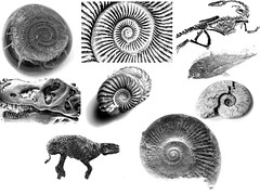 invertebrate, monochrome photography, fossil, drawing, monochrome, illustration, black-and-white,